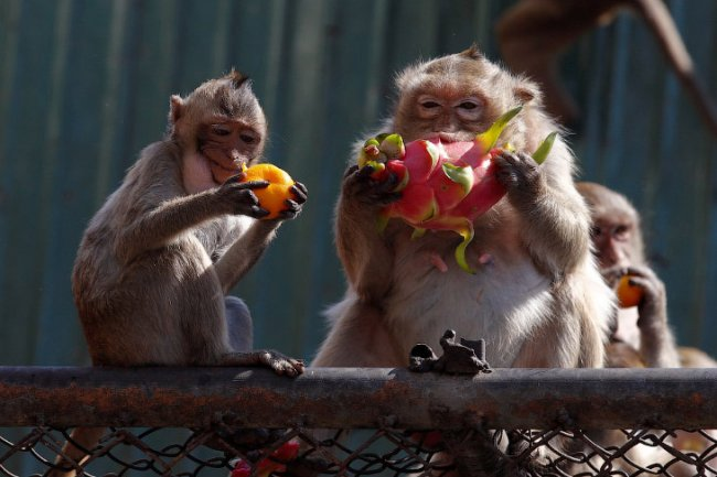 Monkey Buffet Festival: пир для обезьян